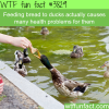feeding bread to ducks is unhealthy for them