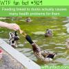 feeding bread to ducks is unhealthy for them