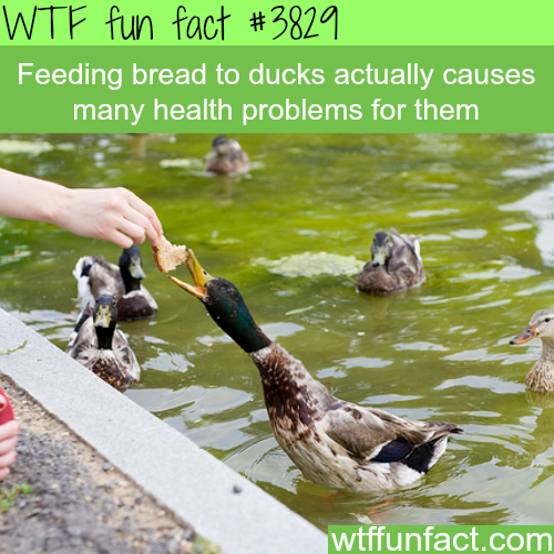 Feeding bread to ducks is unhealthy for them - WTF fun facts