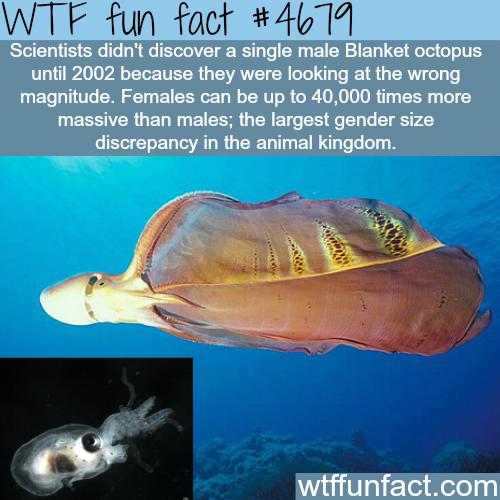 Female and male blanket octopus - WTF fun facts