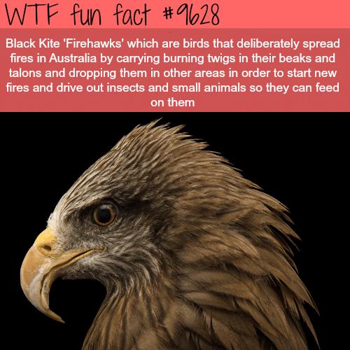 Firehawks - WTF fun fact