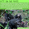 four year war of gombe wtf fun facts