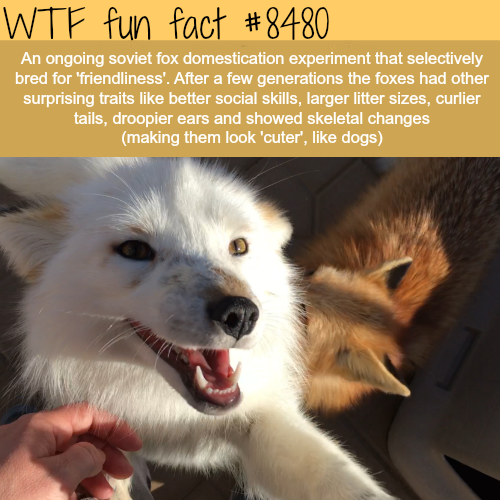 Fox domestication experiment  - WTF fun facts