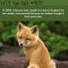 fox pup survived a trap for two weeks wtf fun