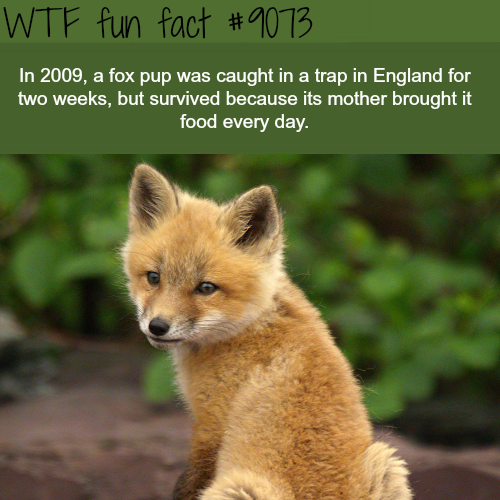 Fox Pup Survived a Trap for Two Weeks - WTF fun facts