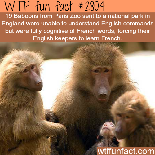 French Baboons don't understand English - WTF fun facts