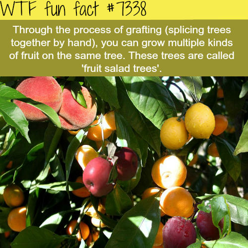 Fruit salad trees - WTF fun fact