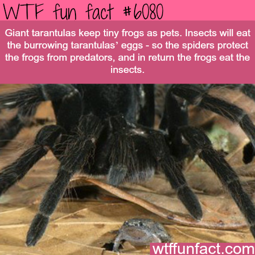 Giant tarantulas keep tiny frogs as pets - WTF fun facts