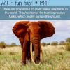 giant tusker elephants wtf fun fact