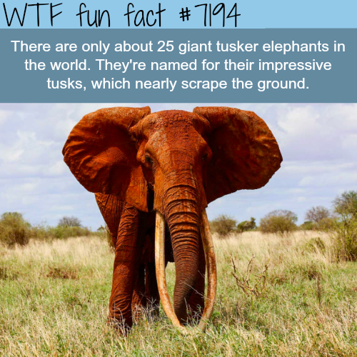 Giant tusker elephants - WTF Fun Fact