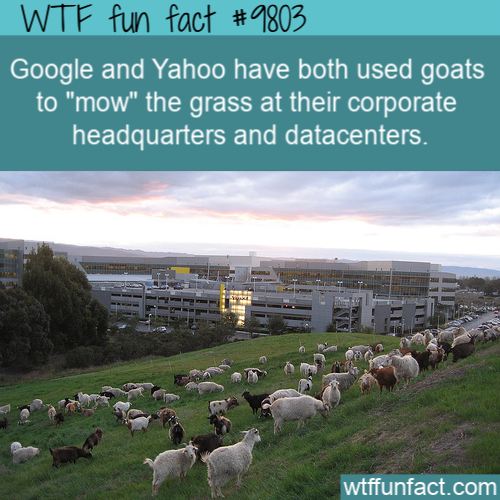 "Google and Yahoo have both used goats to ""mow"" the grass at their corporate headquarters and datacenters."