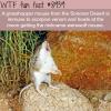 grasshopper mouse wtf fun fact