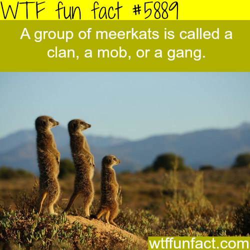 Group of meerkats - WTF fun facts