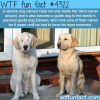 guide dog guides a guide dog wtf fun facts