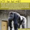 handsome gorilla is popular in japanese zoo