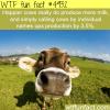 happy cows produce more milk wtf fun facts