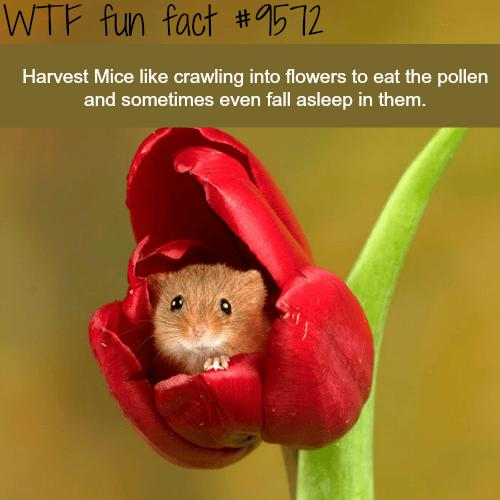 Harvest Mice - WTF fun fact