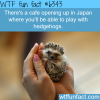 hedgehog cafe in japan wtf fun facts
