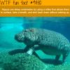 hippos can sleep underwater wtf fun fact
