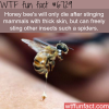 honey bee sting wtf fun fact