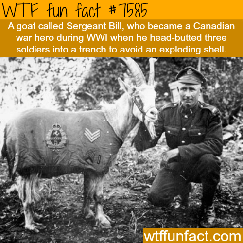How a goat became a war hero - WTF fun facts