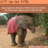 how elephants are much like humans wtf fun facts