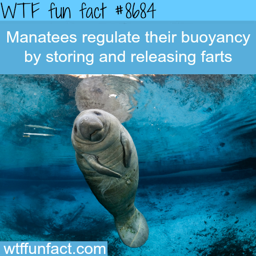 How Manatees Regulate TheirBuoyancy - WTF fun facts