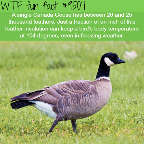 How Many Feathers on a Single Canadian Goose - WTF Fun Fact