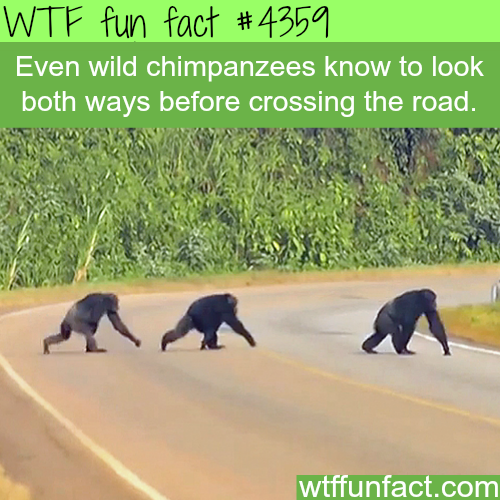 How smart are chimpanzees? smarter than some people -  WTF fun facts