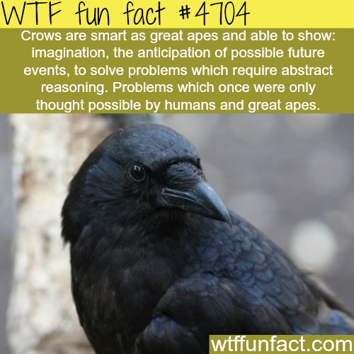 How smart are crows - WTF fun facts
