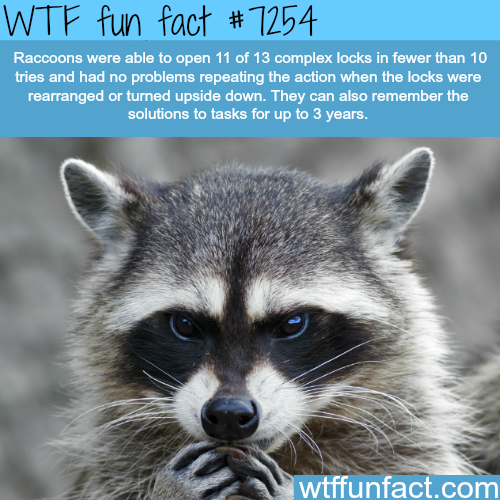 How smart are raccoons - WTF fun fact