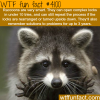 how smart are raccoons wtf fun facts
