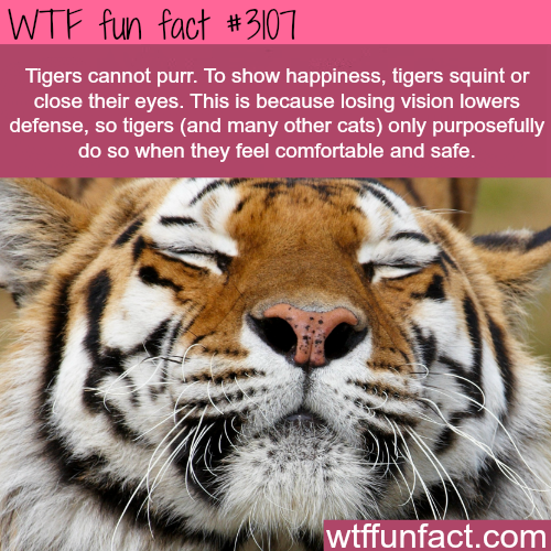 How tigers show happiness -WTF fun facts