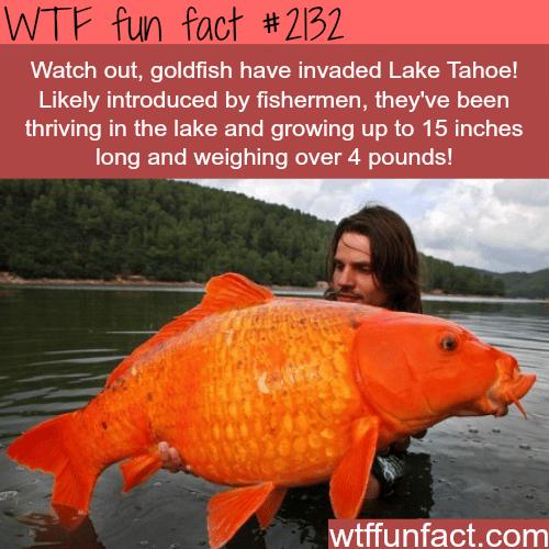 Huge goldfish in Lake Tahoe -WTF fun facts