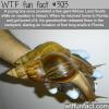 huge invasive snails in florida