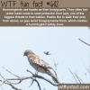 hummingbirds use hawks for protection wtf fun