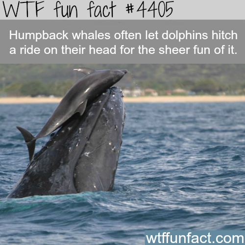 Humpback whales and dolphins -   WTF fun facts