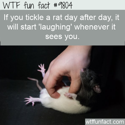 If you tickle a rat day after day