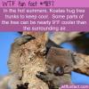 in the hot summers koalas hug tree trunks to keep