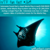 indonesia s manta ray tourism