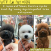 japan and taiwan trend of grooming dogs into