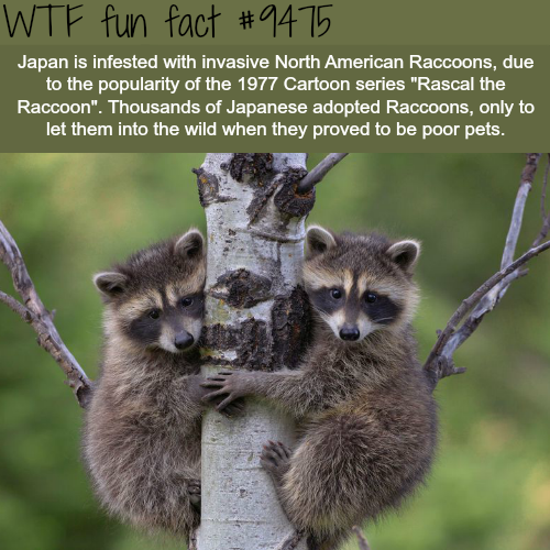 Japan is infested with Raccoons - WTF fun fact