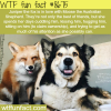 juniper the fox wtf fun facts