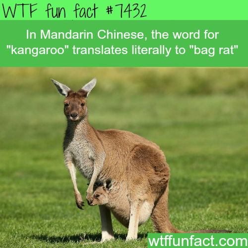 Kangaroo in Mandarin Chinese - Facts