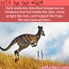 kangaroos wtf fun facts