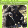 kanzi the chimpanzee that knows how to cook