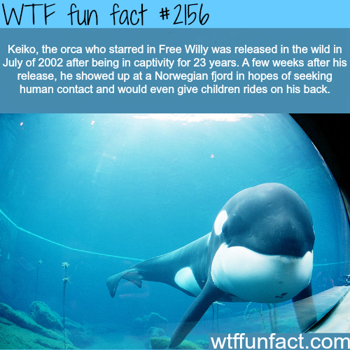 keiko the orca who starred in Free Willy - WTF fun facts
