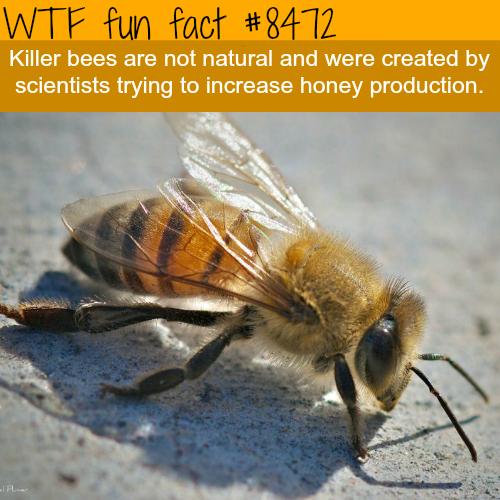 Killer bees are not natural - WTF fun facts