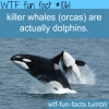 killer whales are doilphins