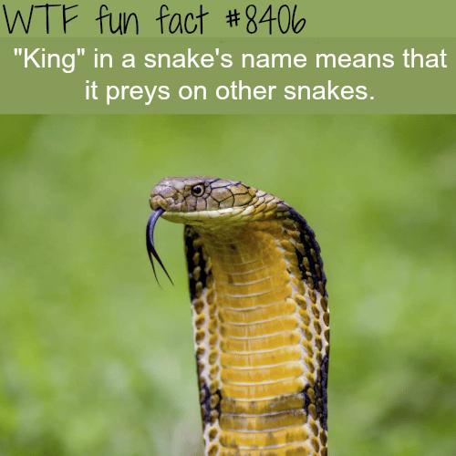 King Cobra - WTF fun facts